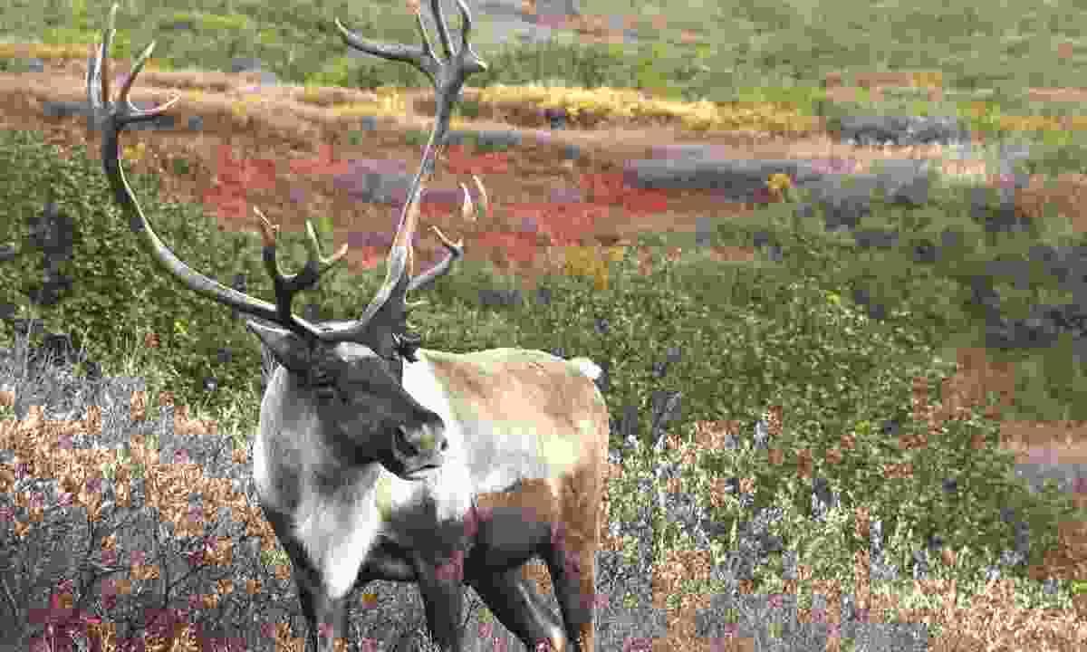 Male caribou (Shutterstock)