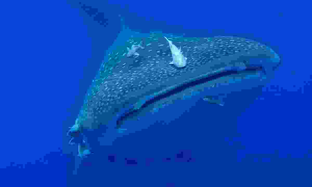 Whale sharks can be found in the waters of St Helena (St Helena Tourist Board)
