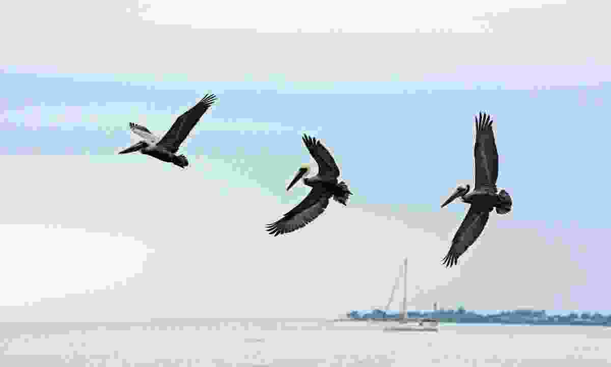 Brown Pelicans (Jason Boeckman)