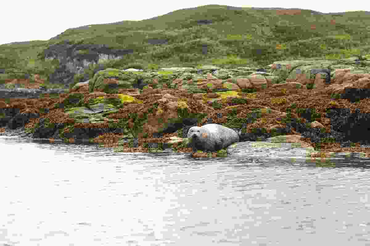 Common Seal off the coast of Scalpay (Graeme Green)