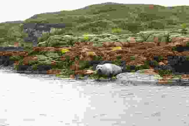 Common Seal off the coast of Scalpay (Graeme Green)