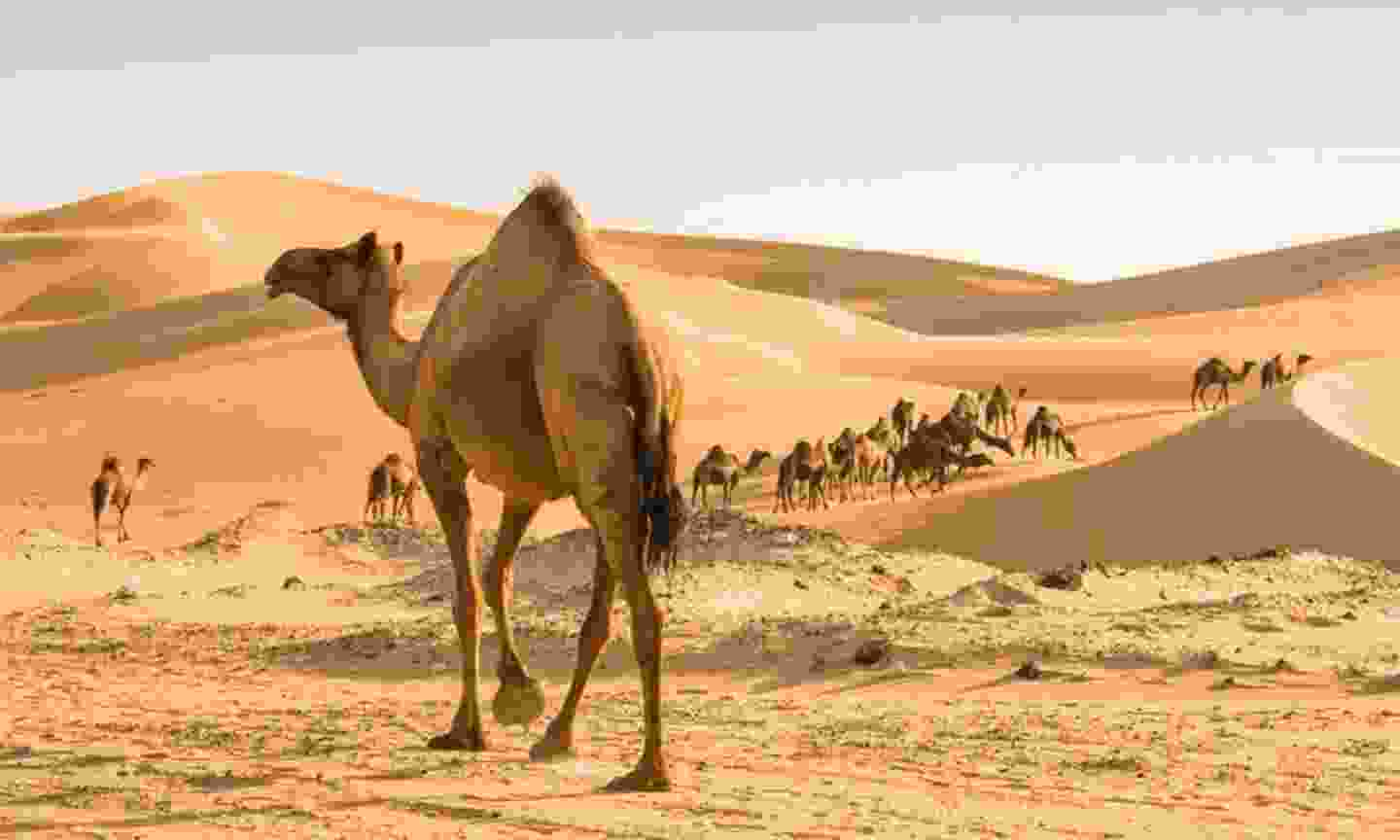 Camels in Oman (Holiday Architects)