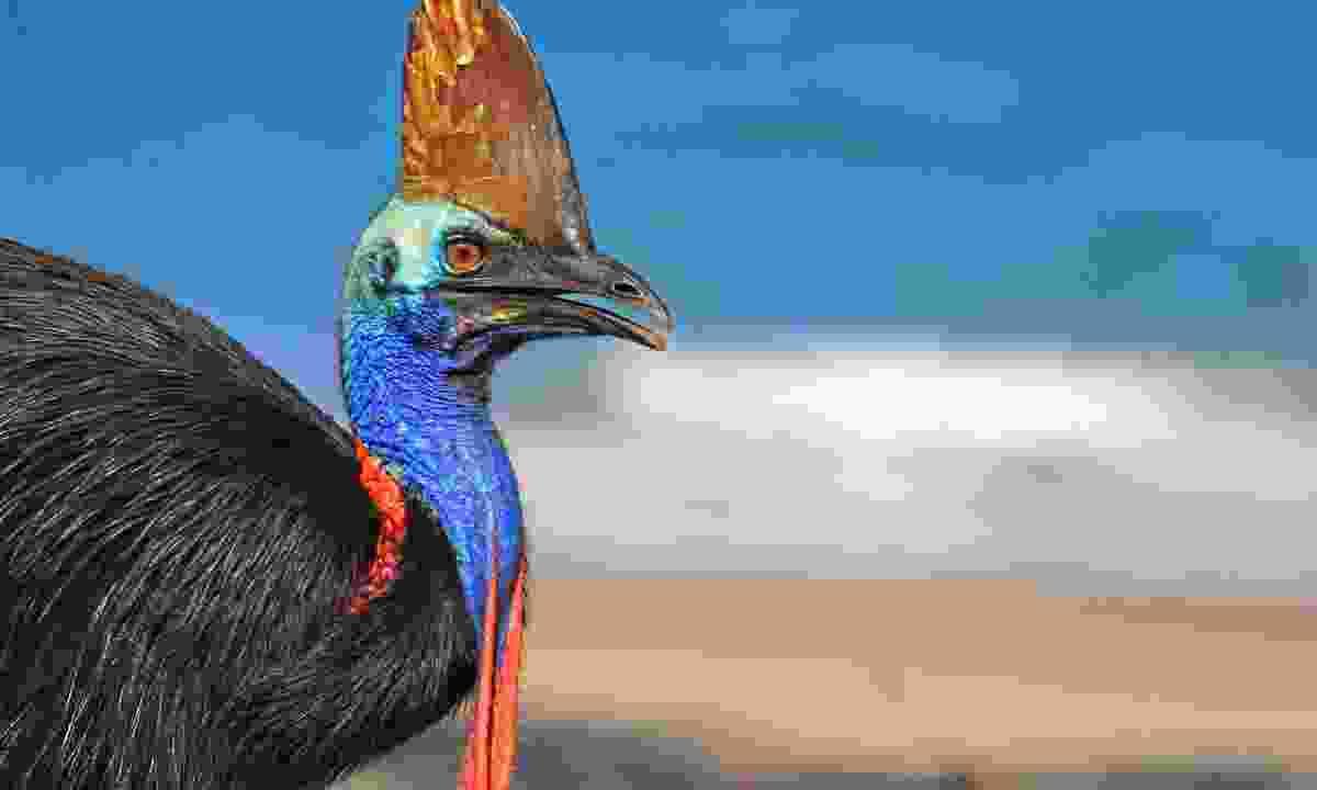 A cassowary on the beach in Daintree (Shutterstock)