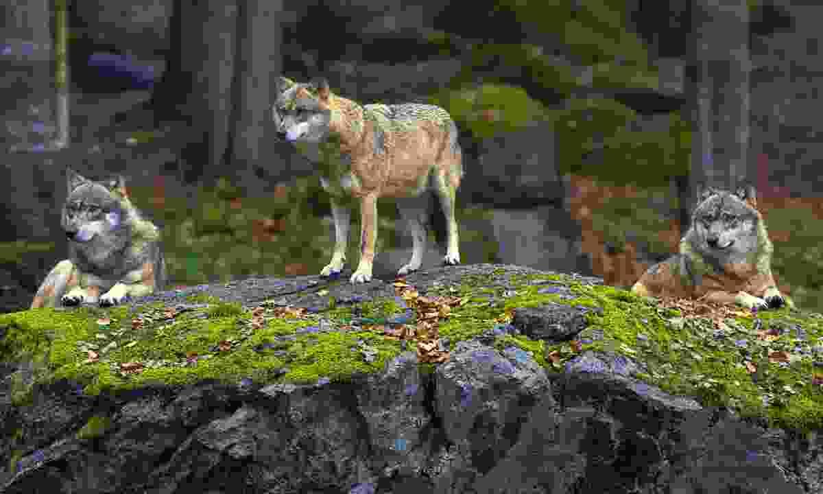 Eurasian wolves (Dreamstime)