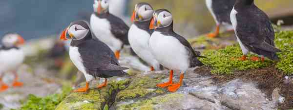 The puffins of the Farne Islands in Northumberland (Shutterstock)