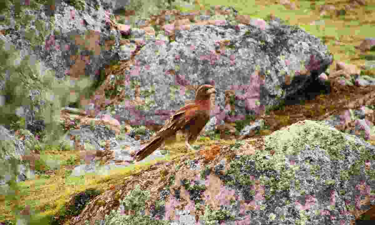 A juvenile caracara keeps a beady eye out (Paul Bloomfield)