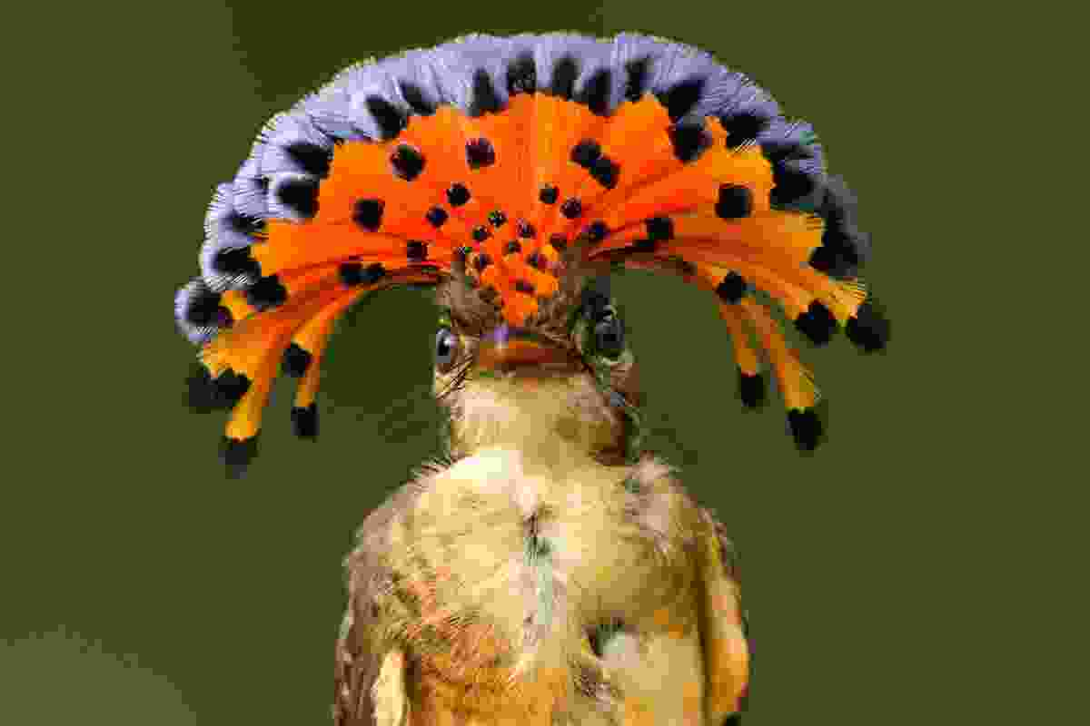 Royal flycatcher (Shutterstock)