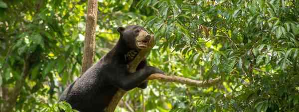 A Malaysian sun bear (Shutterstock)