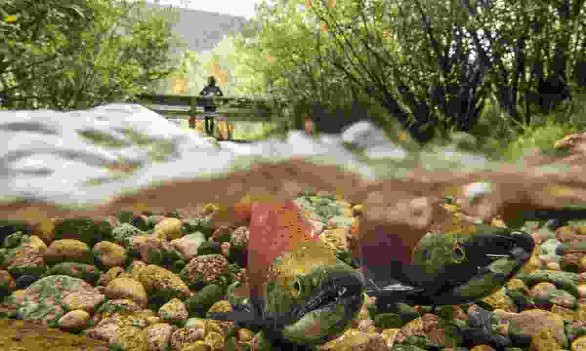 Kokanee Salmon in the channels of Kokanee Creek Provincial Park (Destination British Columbia, Kari Medig)