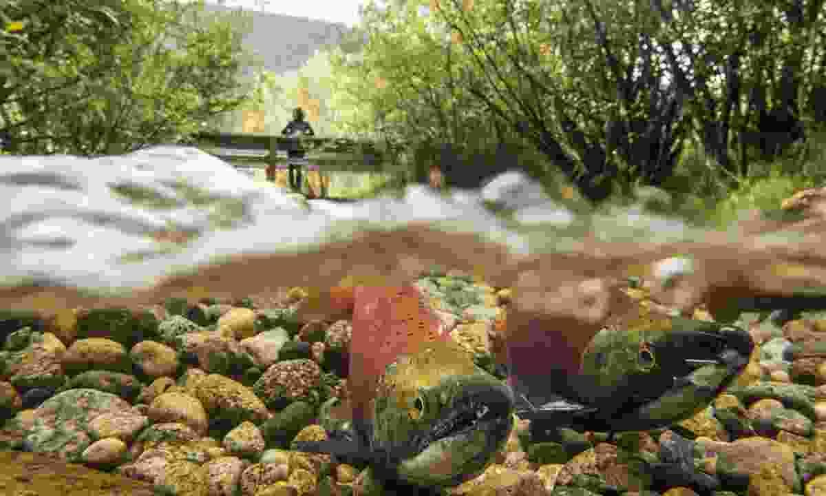 Kokanee Salmon in the channels of Kokanee Creek Provincial Park (Destination British Columbia, Kari Medig)