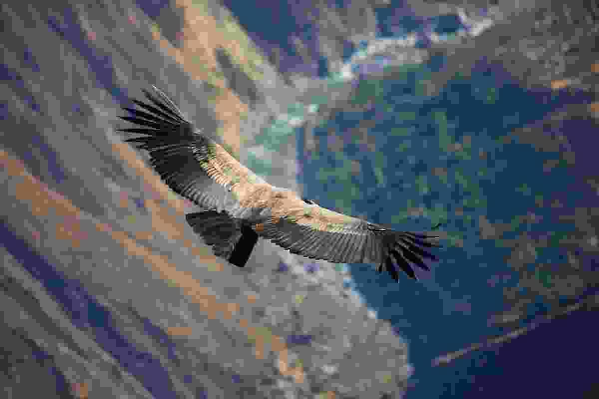 Condor soaring over Colca Canyon, Peru (Graeme Green)