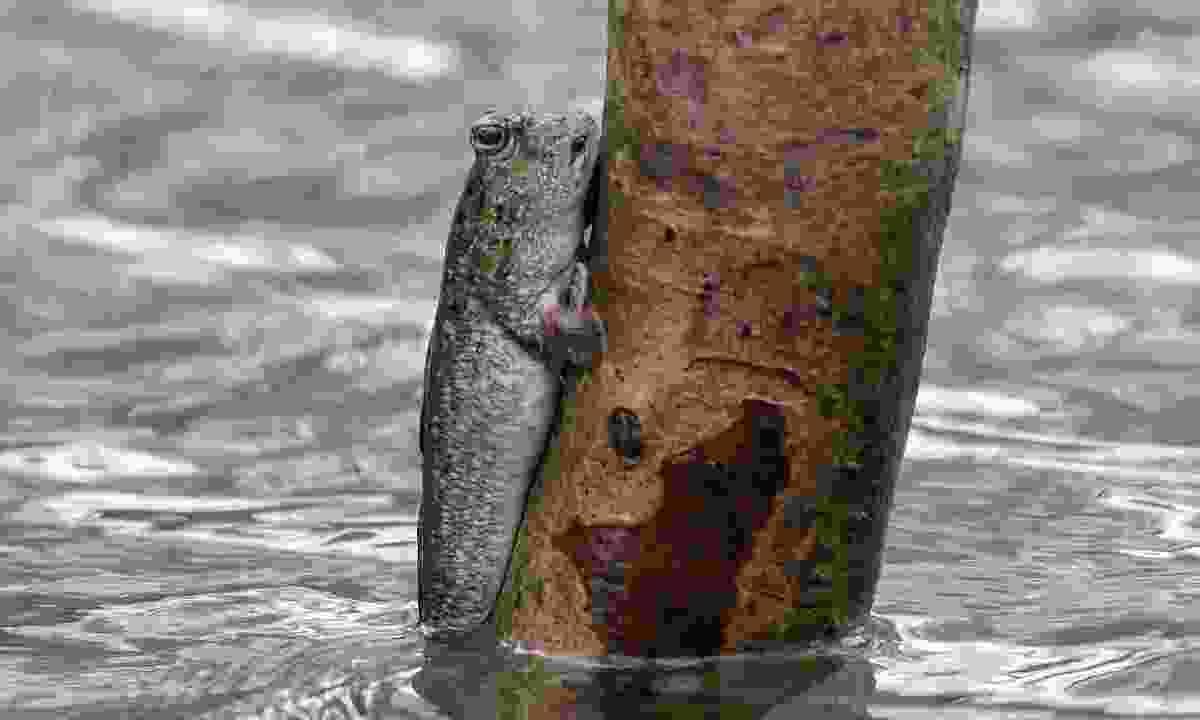 A mudskipper up close. Yep, that is indeed a fish climbing a tree... (Aidi Abdullah)