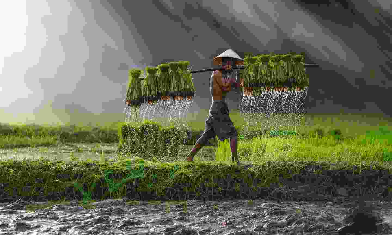 Rice farmer in Vietnam (Shutterstock)