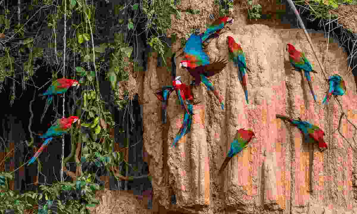 Macaws gather at a clay lick in the Peruvian Amazon (Shutterstock)
