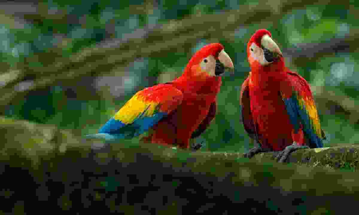 Scarlet macaws in Tikal (Shutterstock)