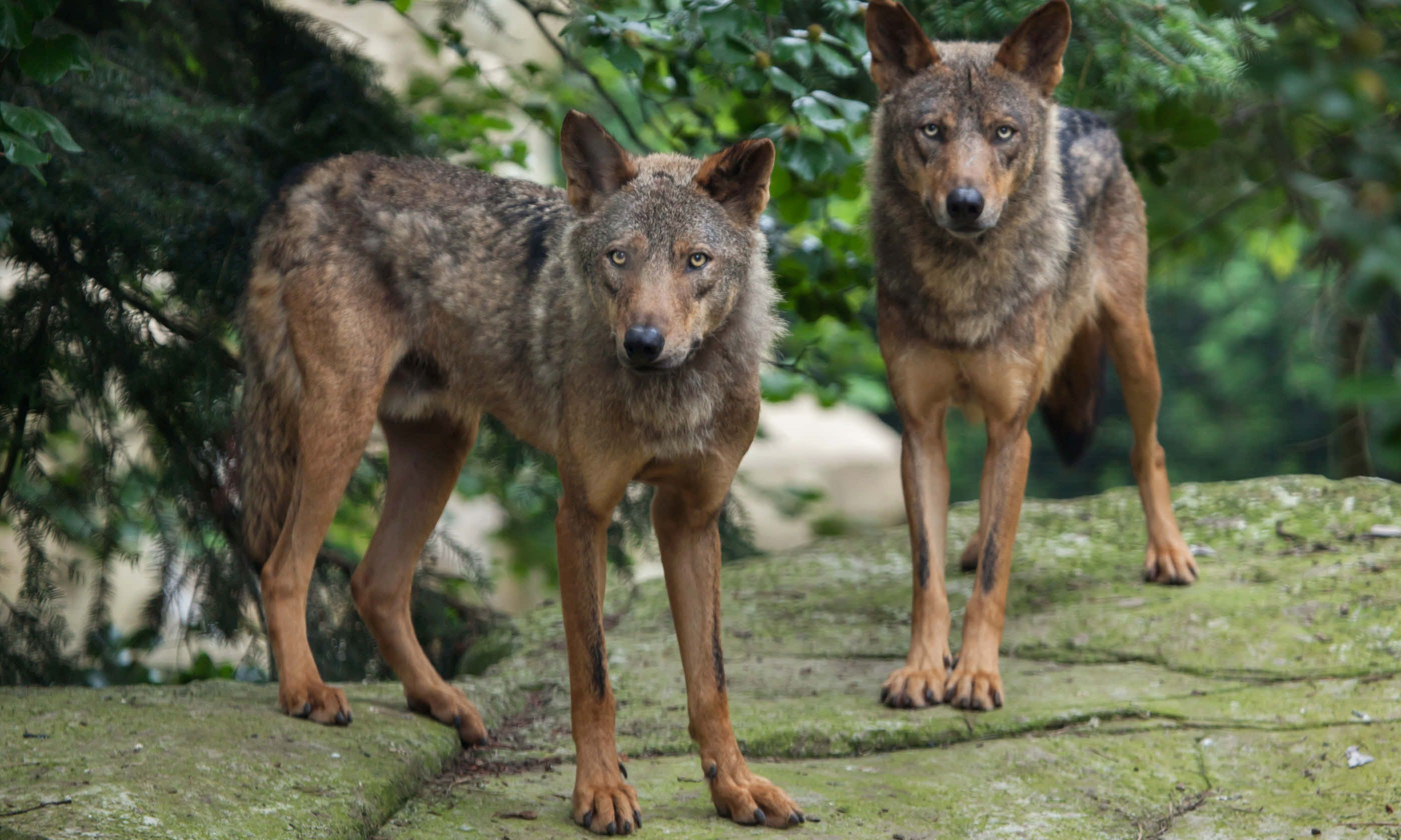 Encounters with Algonquin Wolves The Howls of August