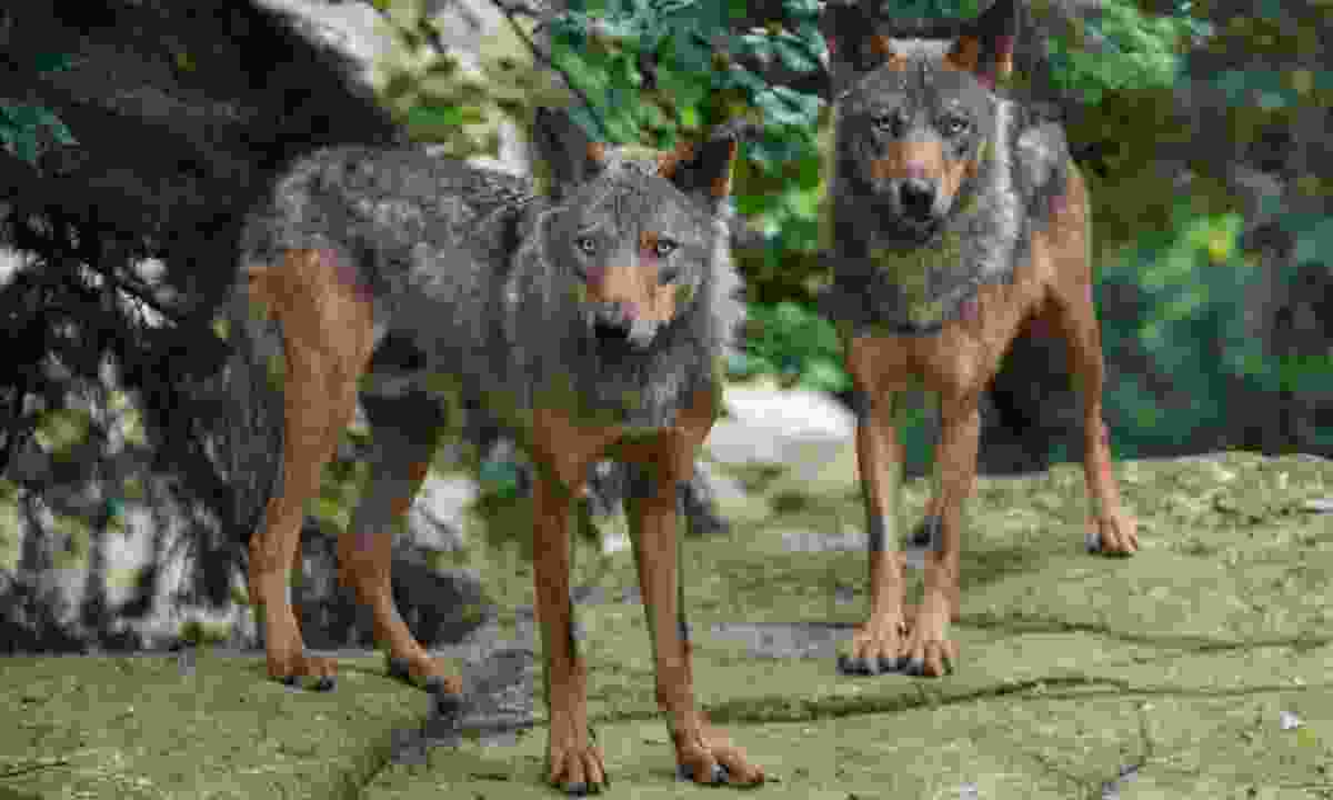 Iberian wolves (Dreamstime)