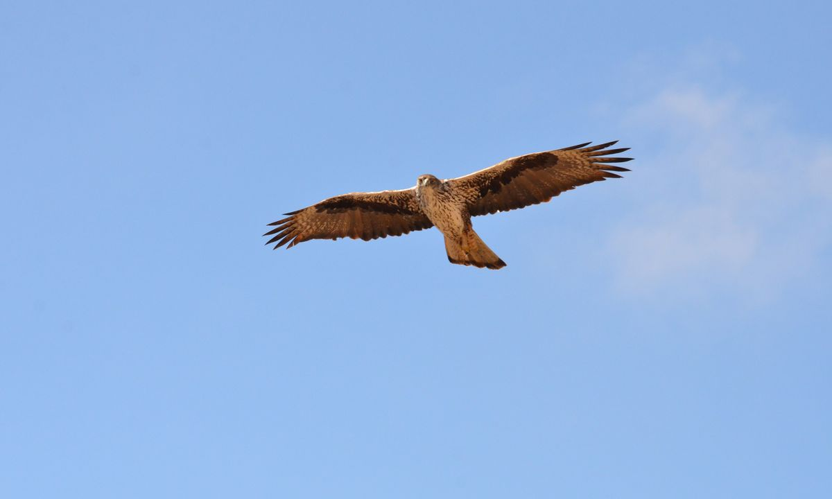A Bonelli's eagle soars in the blue sky above – a common sight at Tawi Atair (Phoebe Smith)