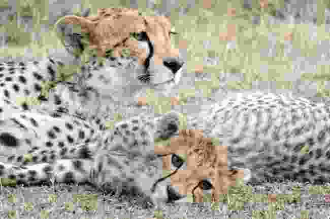 Two cheetahs lounging (Andrea Moreno)