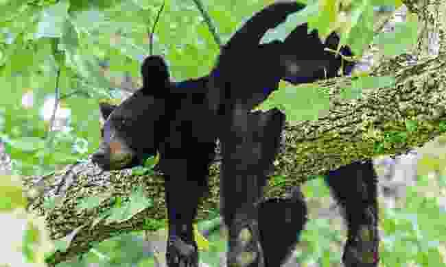 Black bear (Dreamstime)