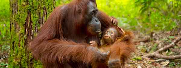 Baby orangutan in Borneo (Shutterstock)
