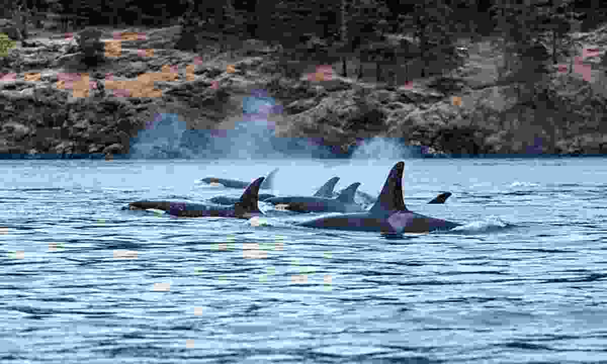 Get up close and personal with killer whales (Destination British Columbia, Reubenn Krabbe)