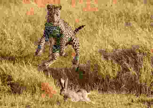 Hunting wabbits… Khwai, Botswana (Giovanni Frescura)