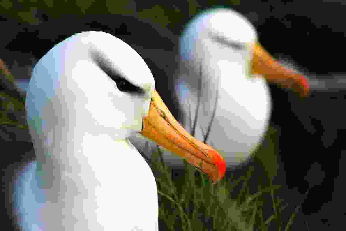 Pair of resting albatross, The Falklands (Graeme Green)