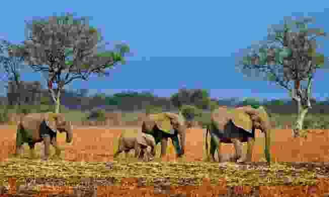 Elephants in South Luangwa National Park (Shutterstock)