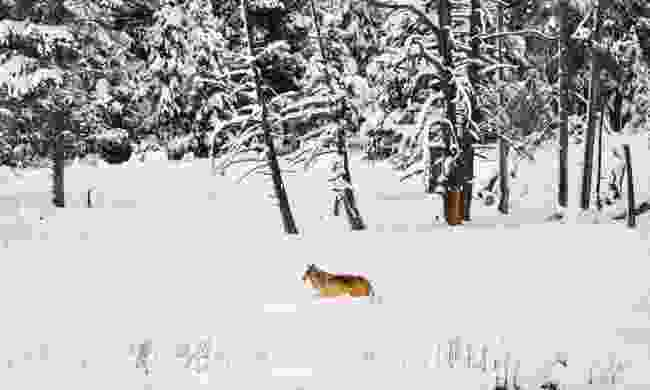 A lone wolf in Yellowstone NP (Dreamstime)