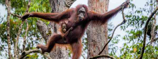 Bornean orangutan. (Dreamstime)