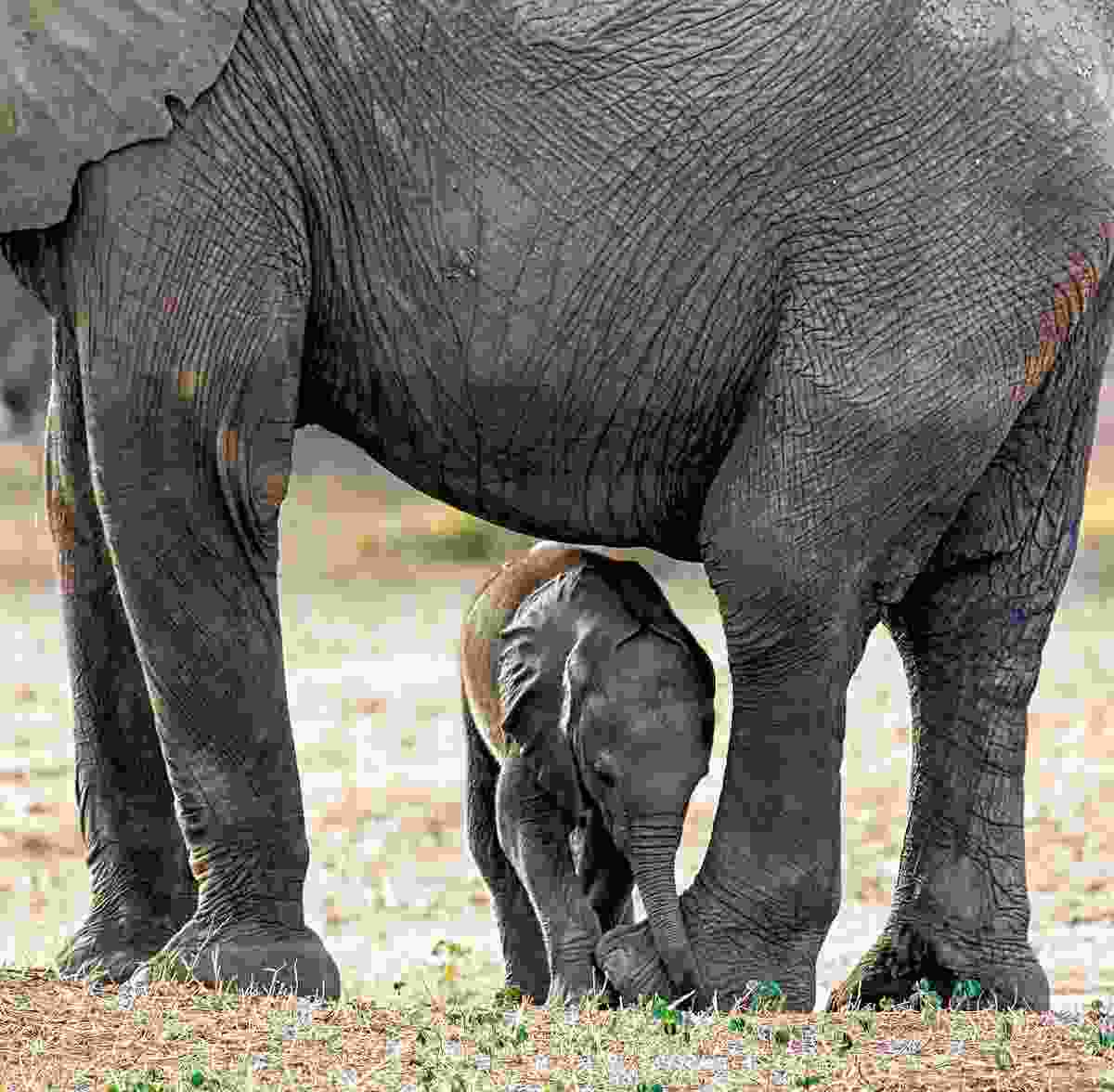 An elephant with a calf (Will Whitford)