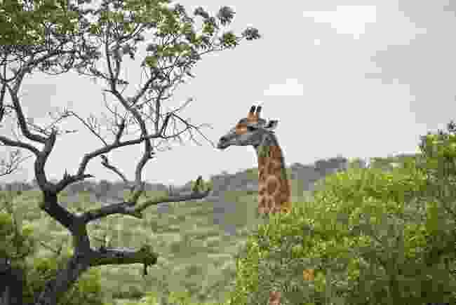 A giraffe roams Hluhluwe-IMfolozi Game Reserve (Shutterstock)