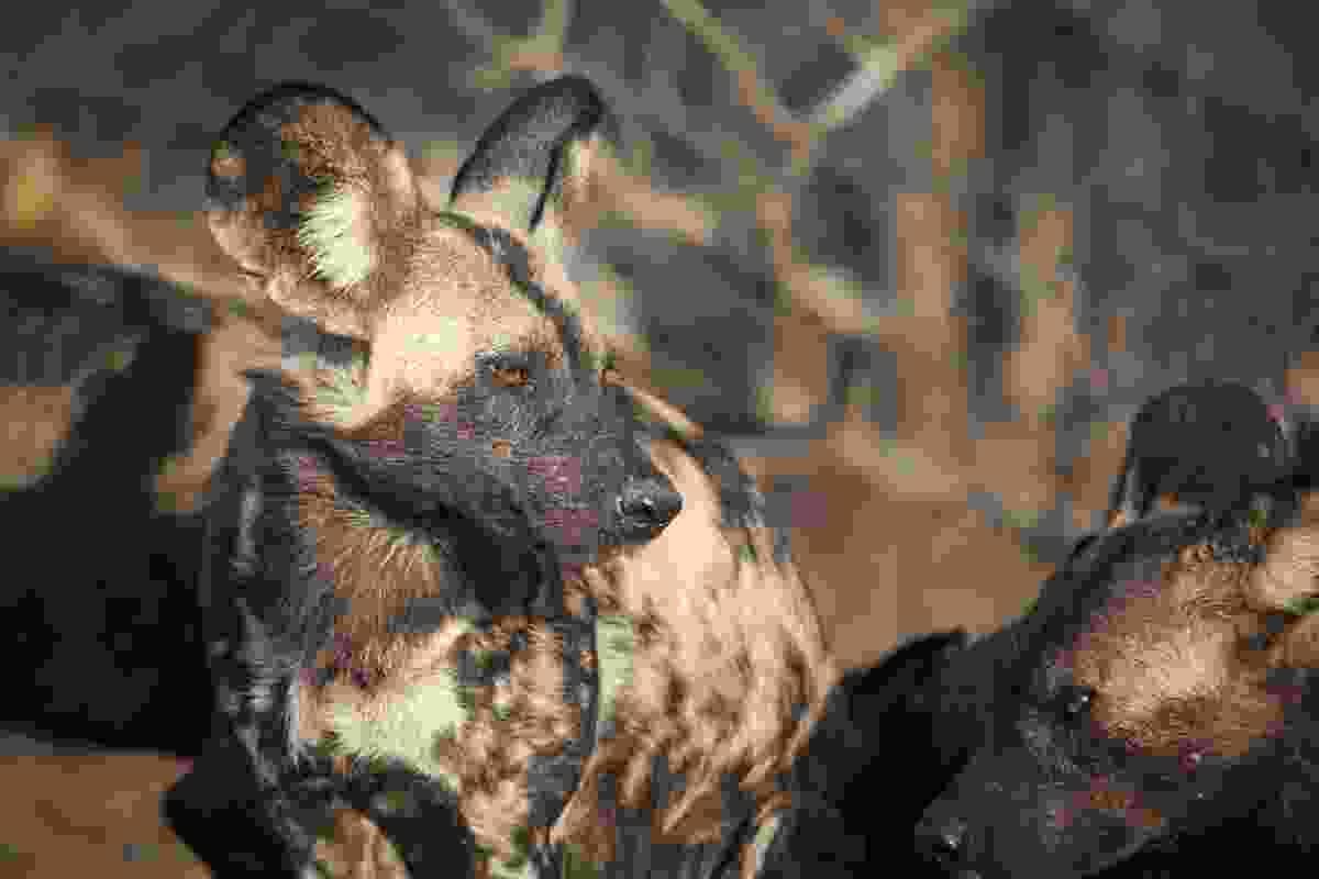 African wild dogs in Hwange National Park, Zimbabwe
