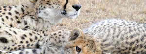 Cheetahs in the Mara Conservancies, Kenya (Andrea Moreno)