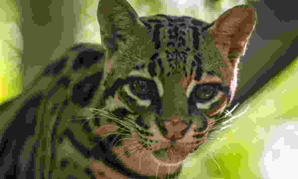 Corcovado National Park is home to many wild cats, including ocelot