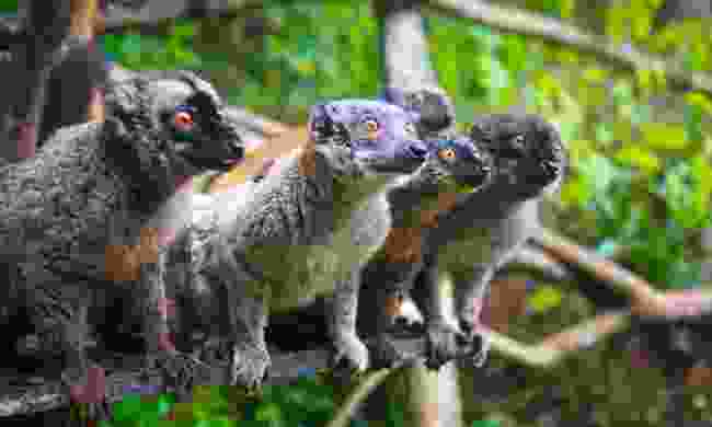 Brown lemurs ate common in Mayotte — even found begging for fruit at breakfast in Le Relais Forestier (Mark Stratton)