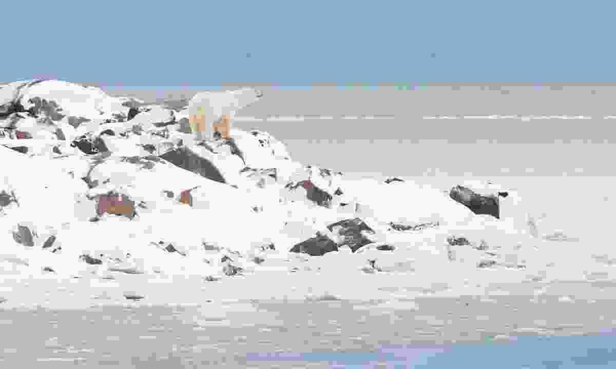 A polar bear hunting near Churchill (Shutterstock)