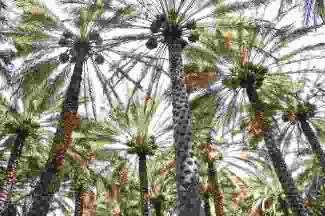 Palm trees in Oman. (Dreamstime)