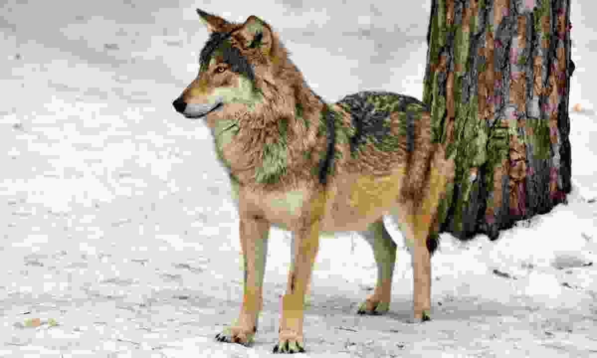 Wild gray wolf in Belovezhskaya Pushcha NP (Dreamstime)