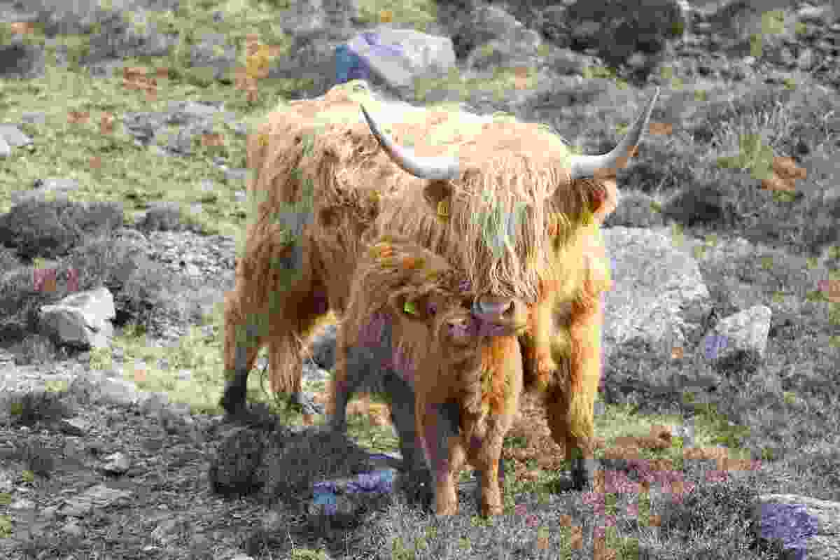Highland Cow giving her calf an affectionate lick (Graeme Green)