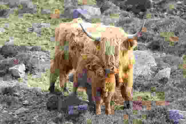 Highland Cow giving her calf an affectionate lick (Graeme Green)