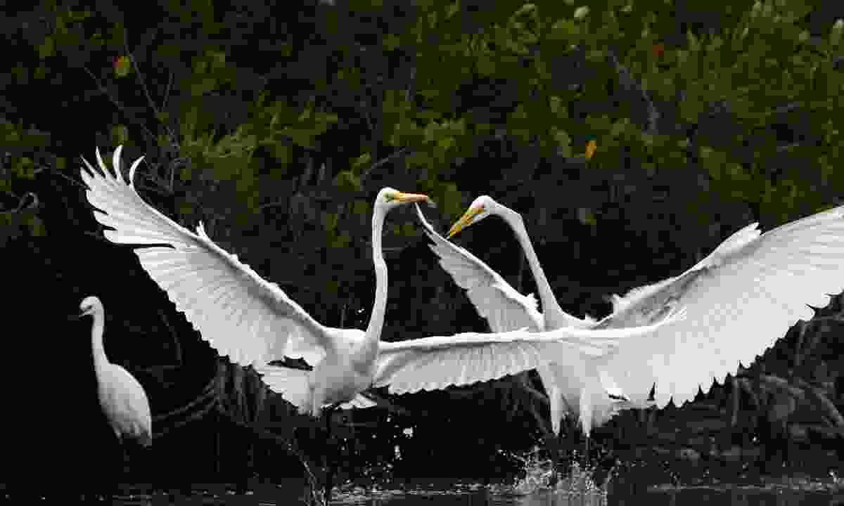 Great Egrets (Jason Boeckman)