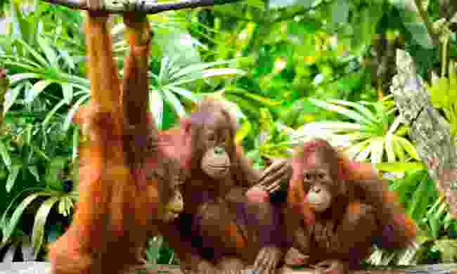 Baby orangutans.