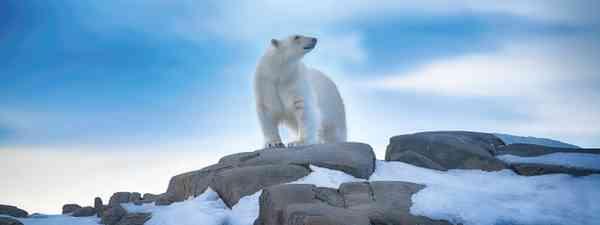 Polar bear (Poseidon Expeditions/Chichester)