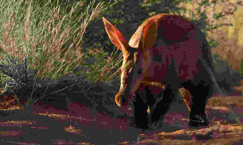 An aardvark up close (African Star Tours)