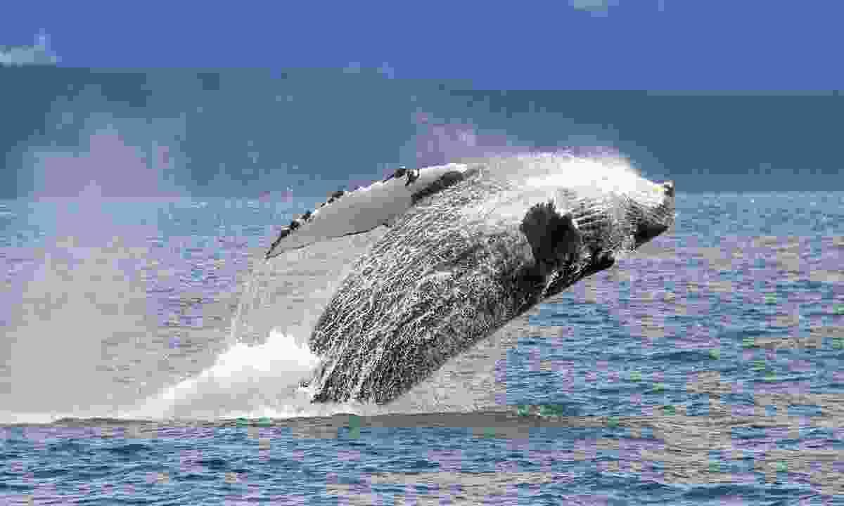 Humpback whale (Shutterstock)