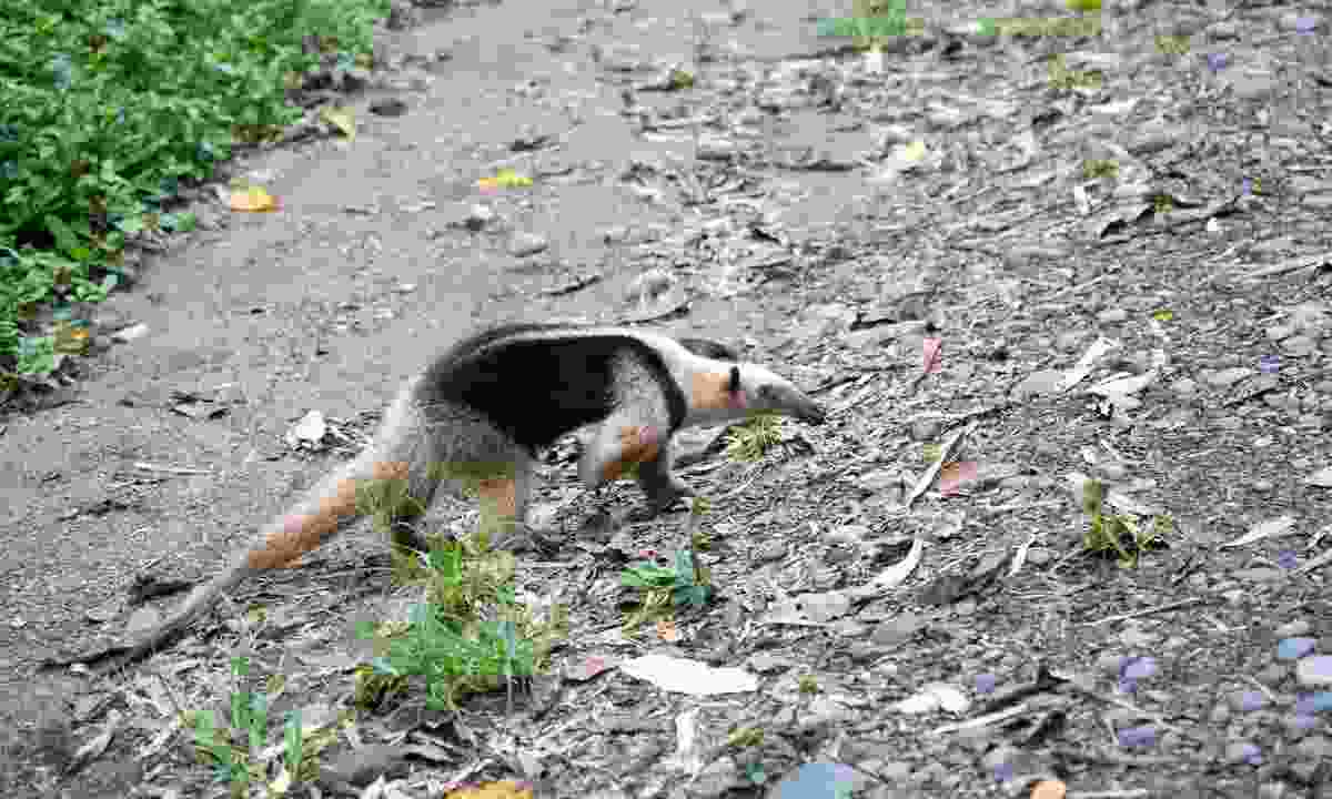 Corcovado National Park is home to many animals, including anteaters