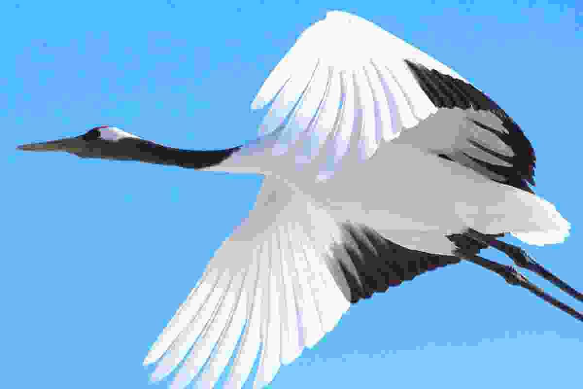 Red-crowned crane, the official bird of Hokkaido, flying over Tsurui, Japan (Graeme Green)