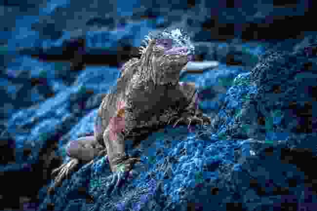 Marine iguana, the Galápagos (Shutterstock)